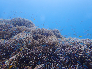 サンゴを見たくて